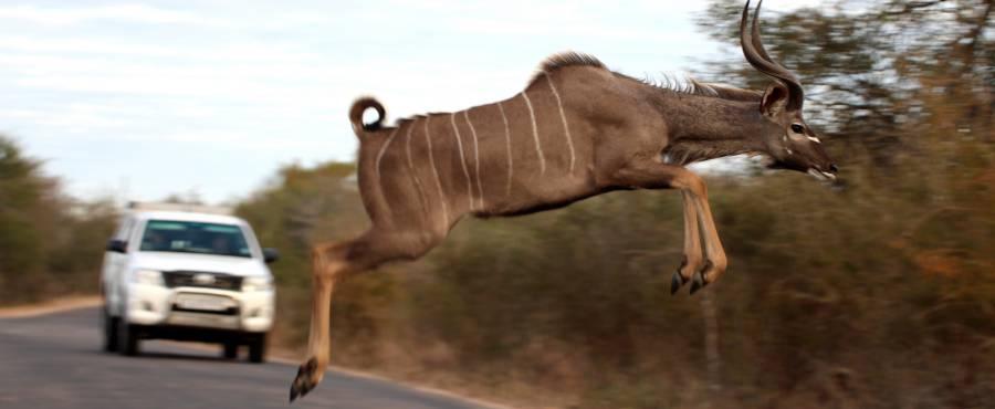 Kudu-jumping-Kruger