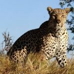 leopard-sabi-sands