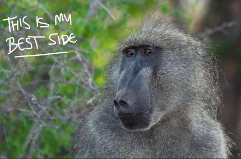 Baboon Kruger