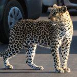 Leopard-H1-3-Kruger