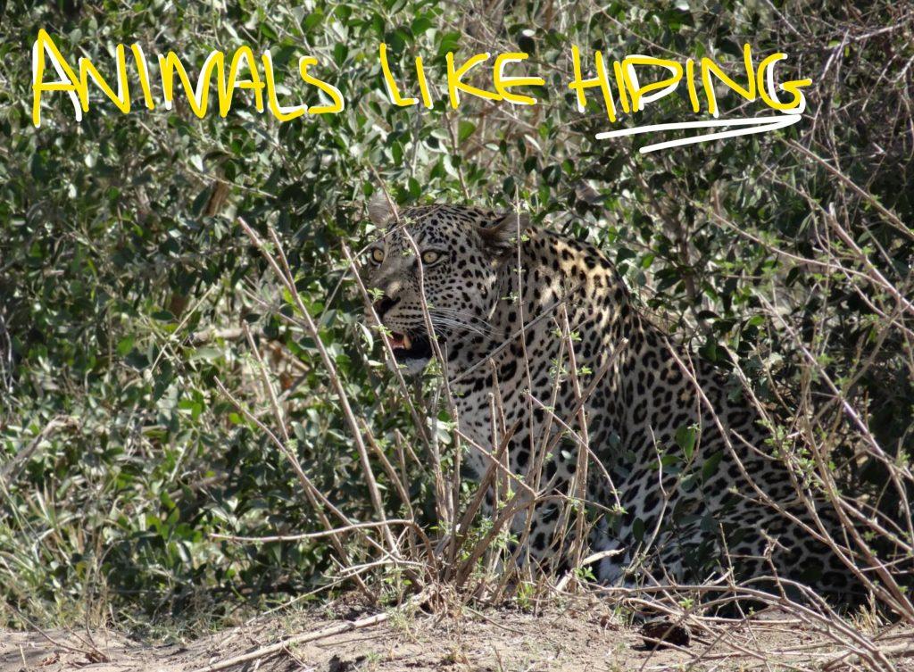 Leopard-Hiding-Kruger
