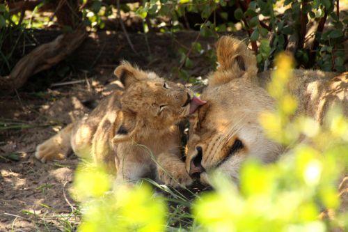 Lions-H7-Kruger