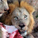 Lions Timbavati