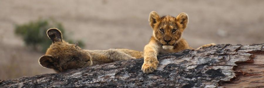 lion cubs kumana dam