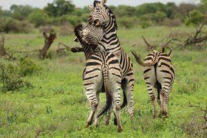 Zebras playing Kruger