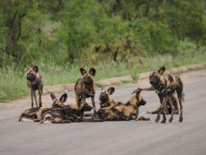 Wild dogs Kruger