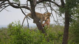 leopard with kill in tree