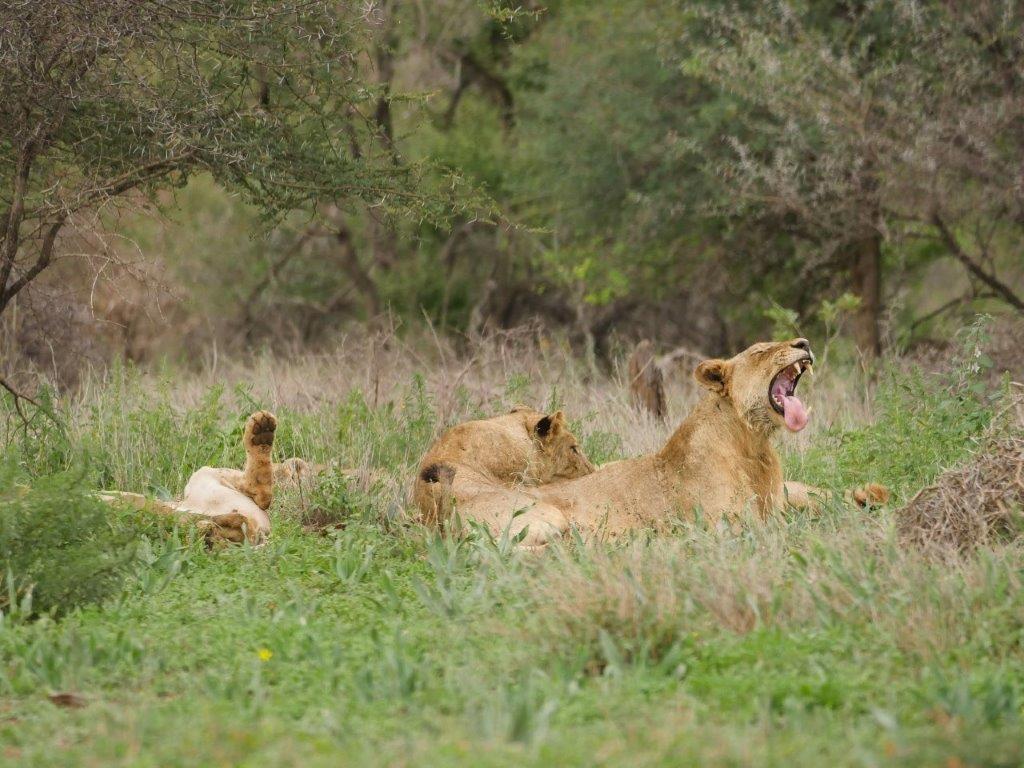 Lions S41 Kruger