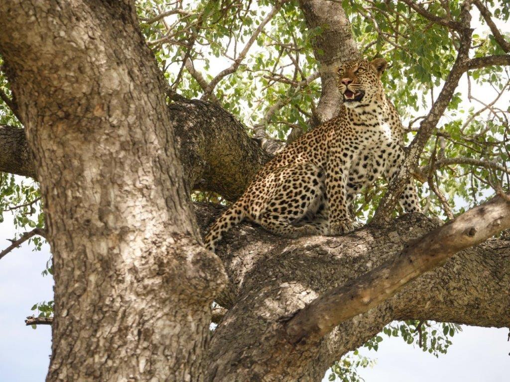 Leopard in tree Kruger
