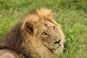 Ngotso male lion Kruger