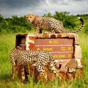 Cheetah on sign Kruger