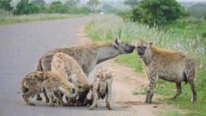 Hyenas Satara