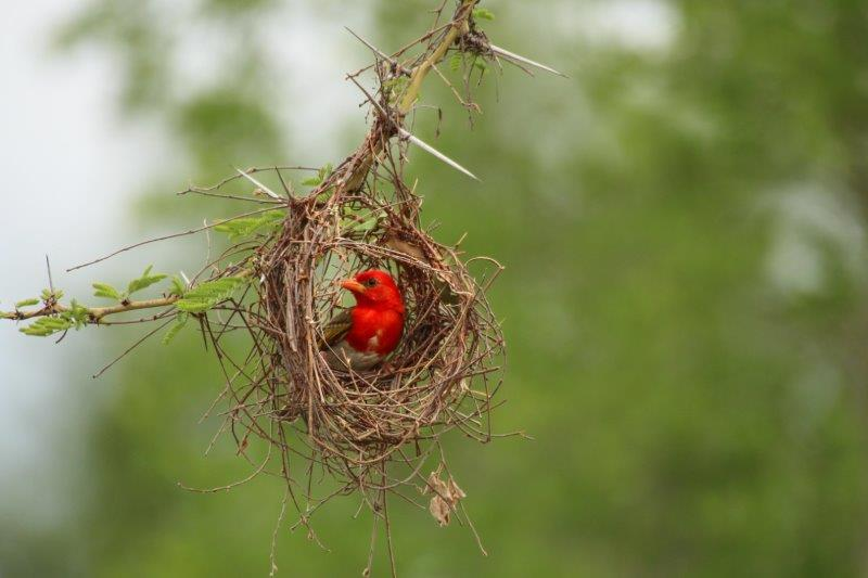 RED-HEADED WEAVER!!! I bet you didn't know that.