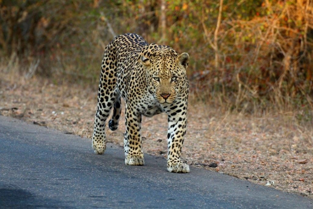 Leopard on road