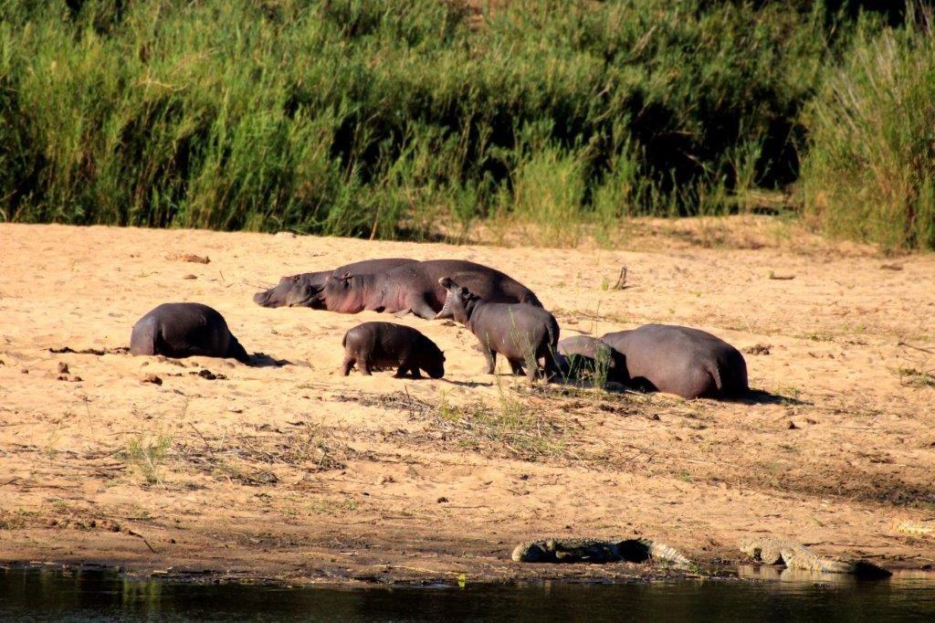 Hippos River Lower Sabie