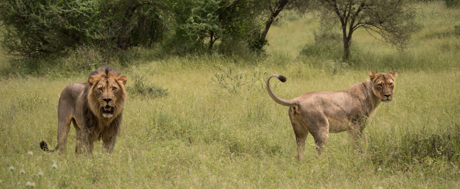 Mating Lions Mashatu