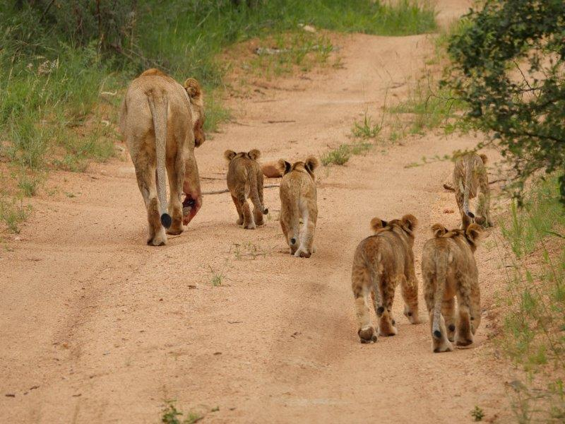 Lion and cubs Karongwe