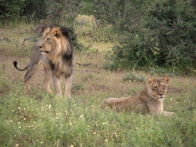 Lions Mashatu