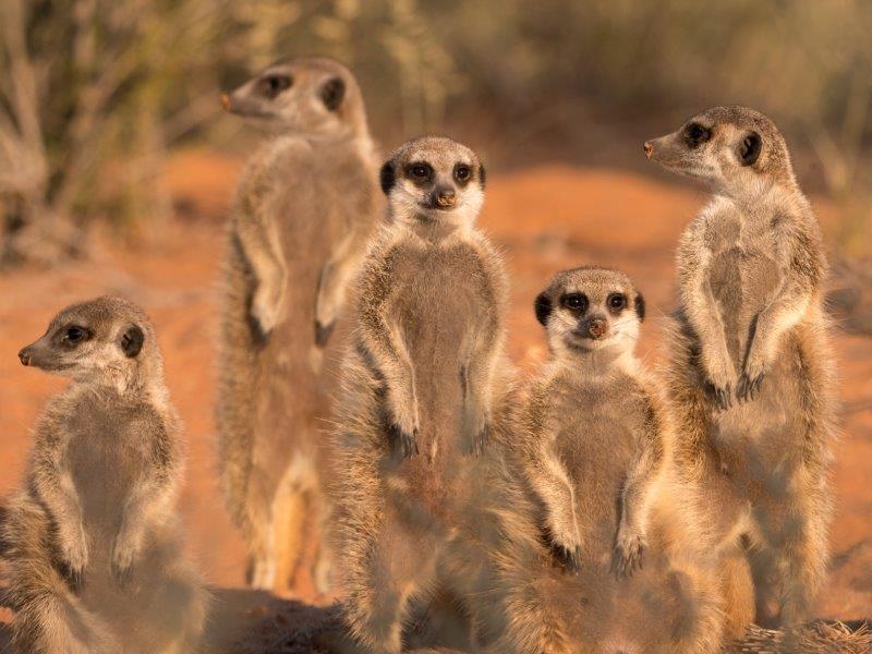 Meerkats Kalahari Trails