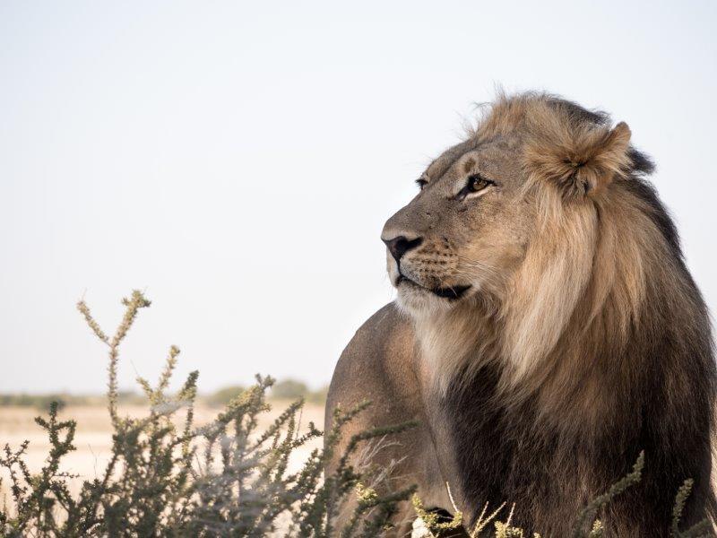 LIONS EVERYDAY!