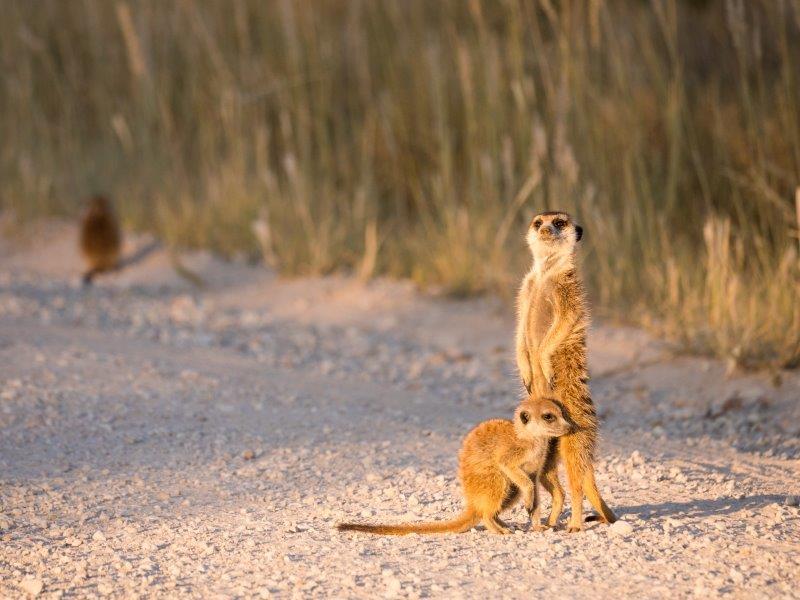 Meerkats Kgalagadi