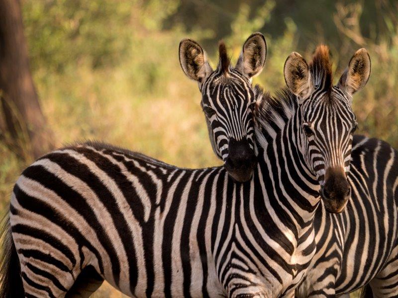 Zebra Makuleke