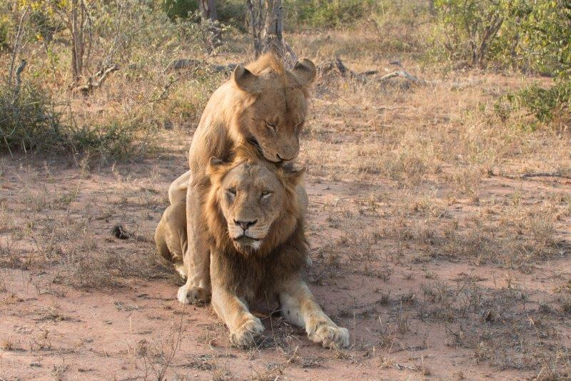 Two male lions mating