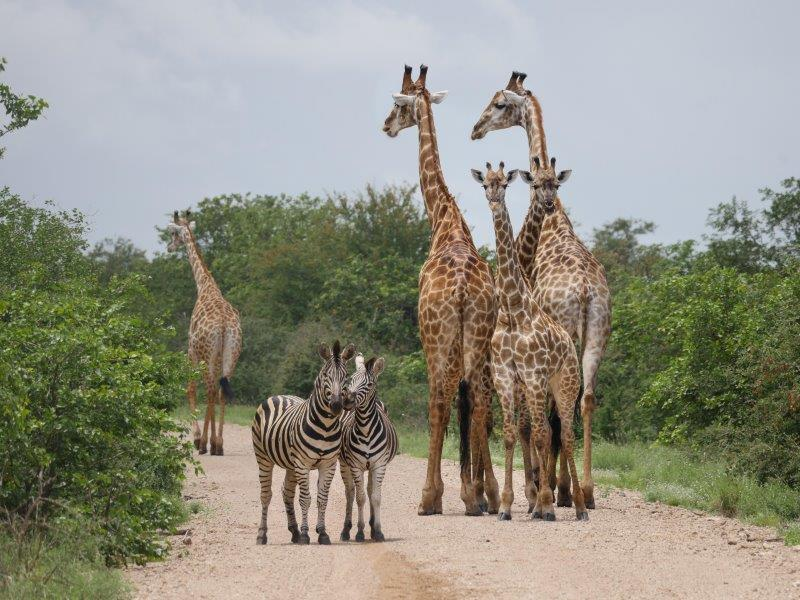 Giraffes and Zebras on dirt road