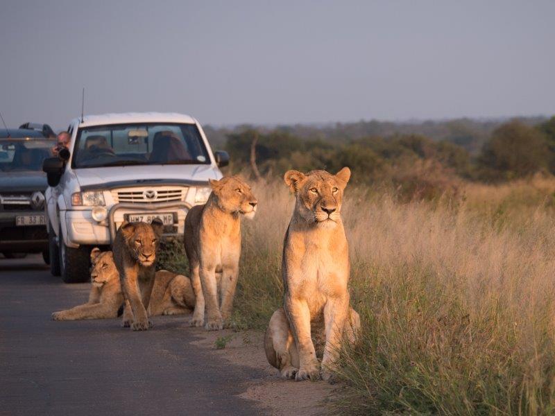 Lions on road in Kruger
