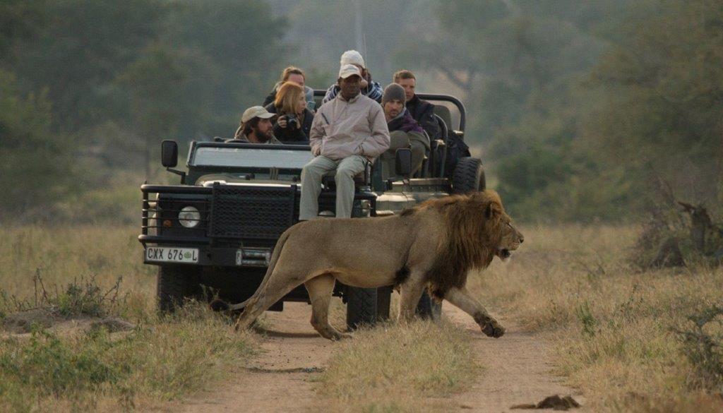 Lion walking in front of safari vehicle