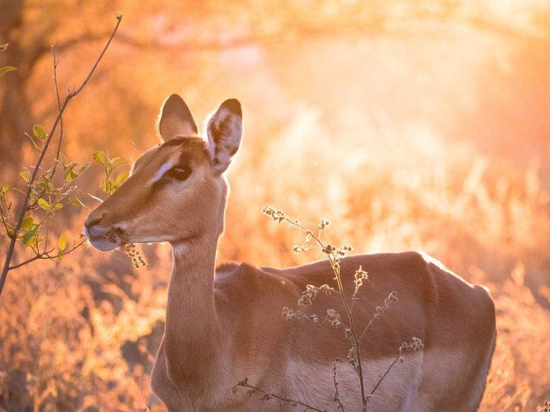 Impala in sunset light