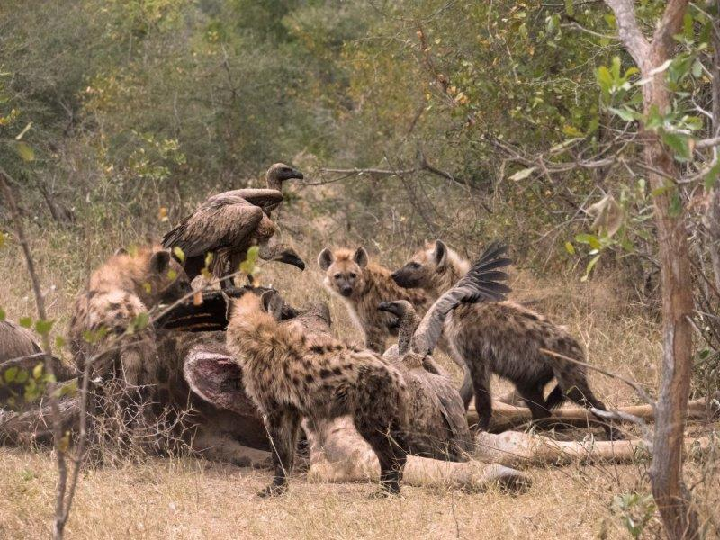 Hyenas and vultures on kill at Sabi Sands
