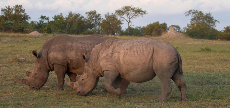 Rhinos Sabi Sands